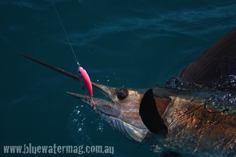 La Pesca del Pez Vela por José Manuel López Pinto / Actualizado al 9 de Febrero del 2012 Sailfish-on-stickbait-2-photo-copyright-tim-simpson-bluewater-publishing-c-2009